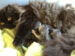 Buffalo Creek Farms Reo with her shaded silver babies