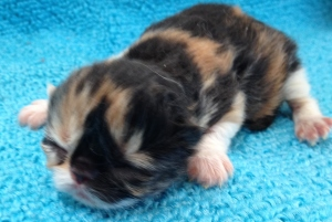Buffalo Creek Farms Persian Calico Girl