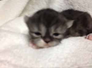 Buffalo Creek farms Persian Kitten black smoke bicolor boy