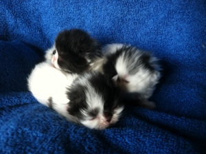 Buffalo Creek Farms black and white van Persian Kitten