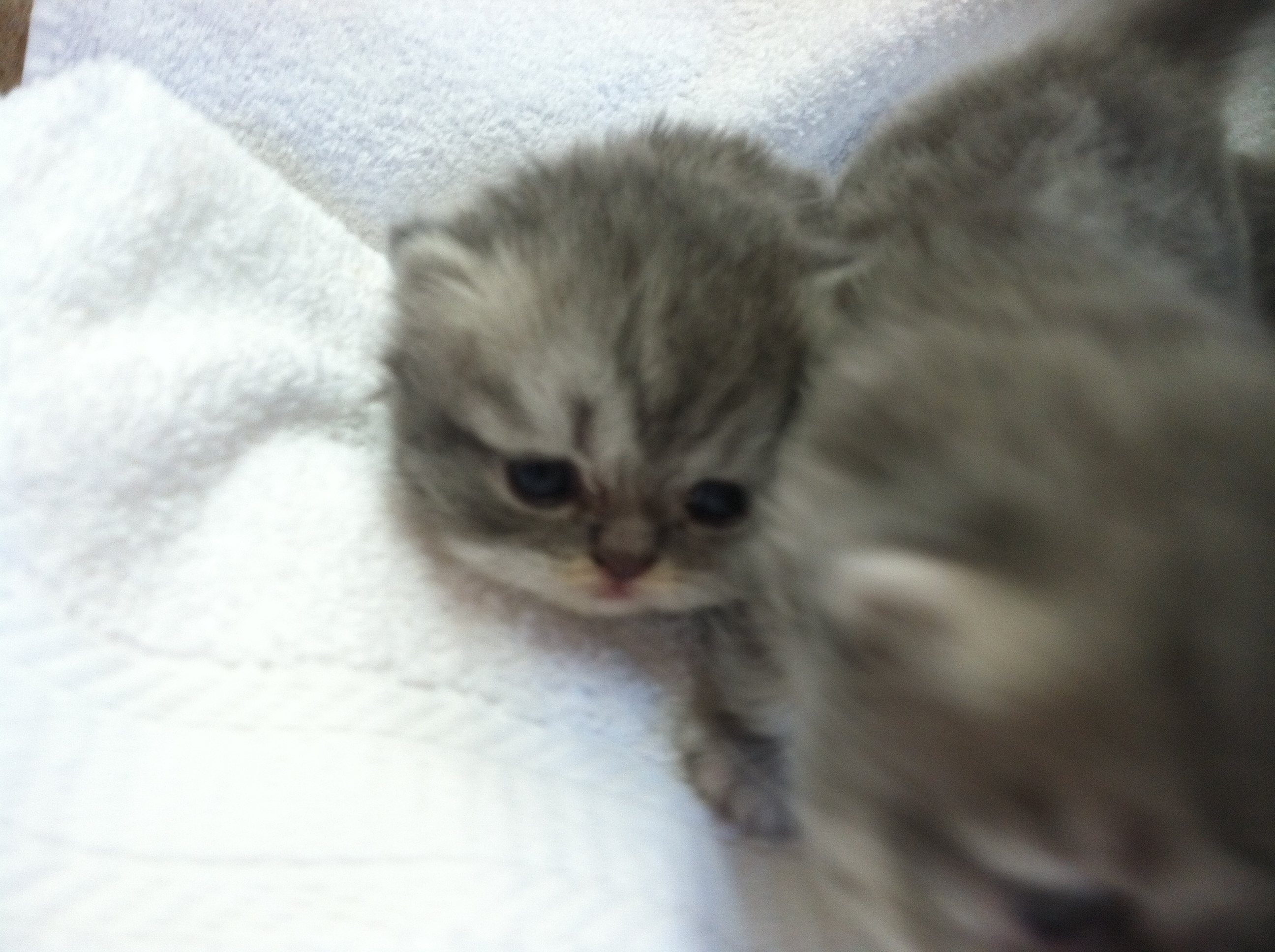 blue tabby persians for sale upcoming persian kittens aiojuz