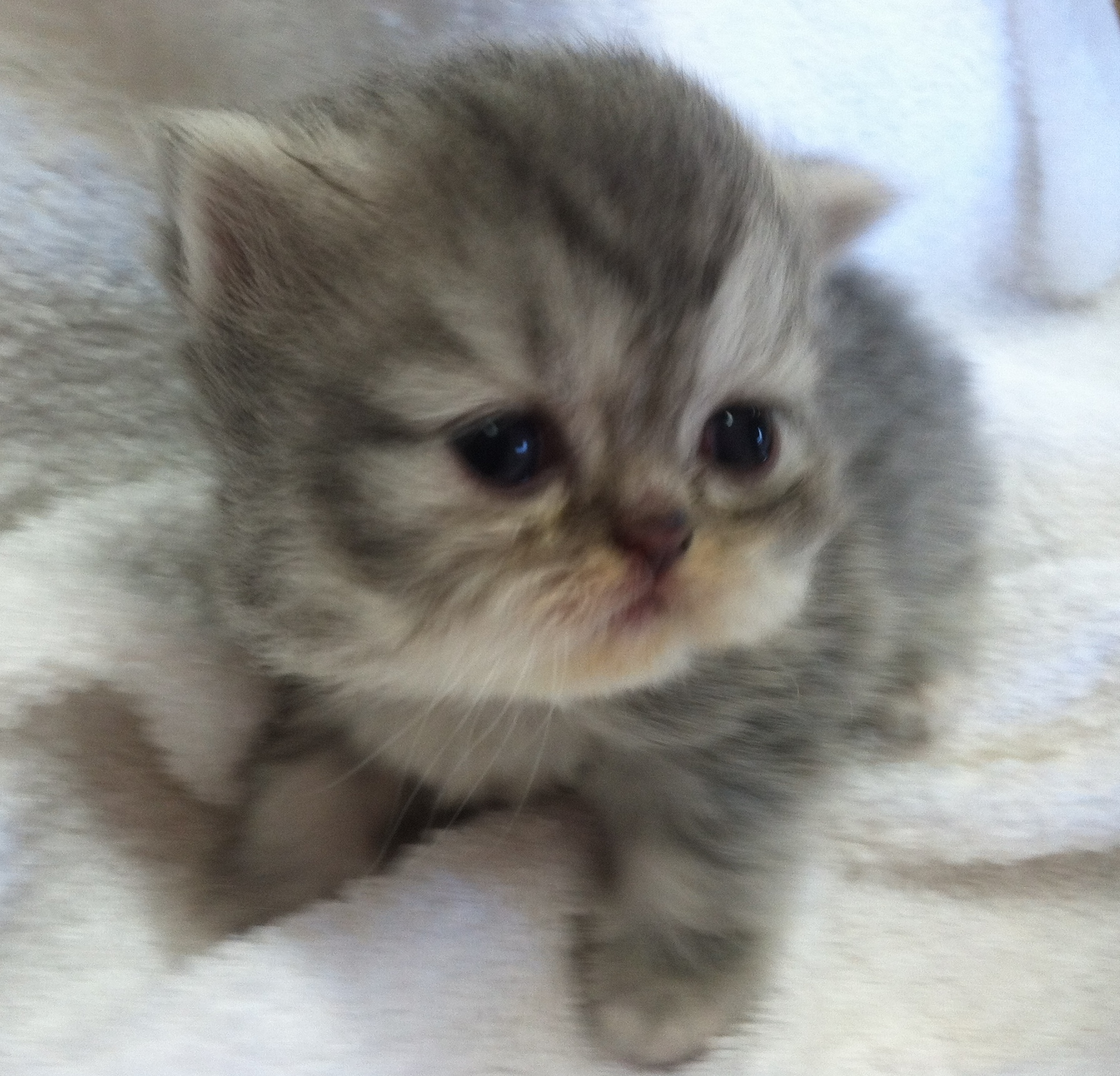 blue tabby persians for sale