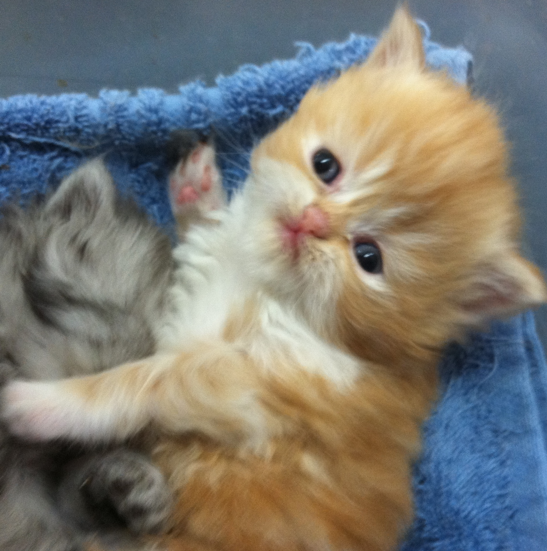 Up ing litters Persian kittens