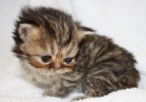 Buffalo Creek Farms Golden Persian Girl Kittens