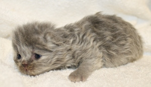 Buffalo Creek Farms Persian Kittens For Sale