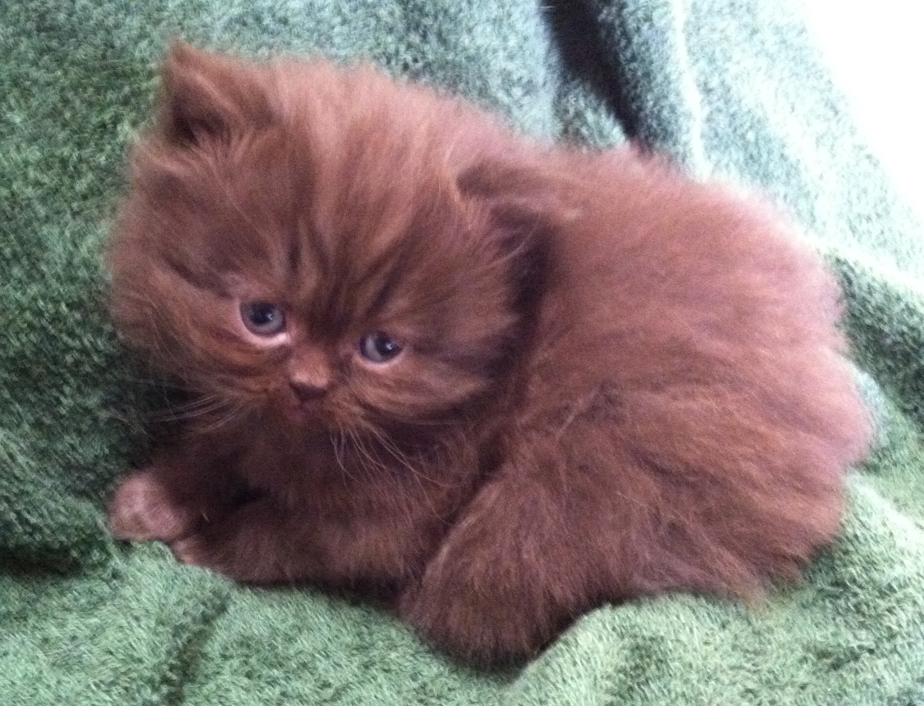 Chocolate persians for sale