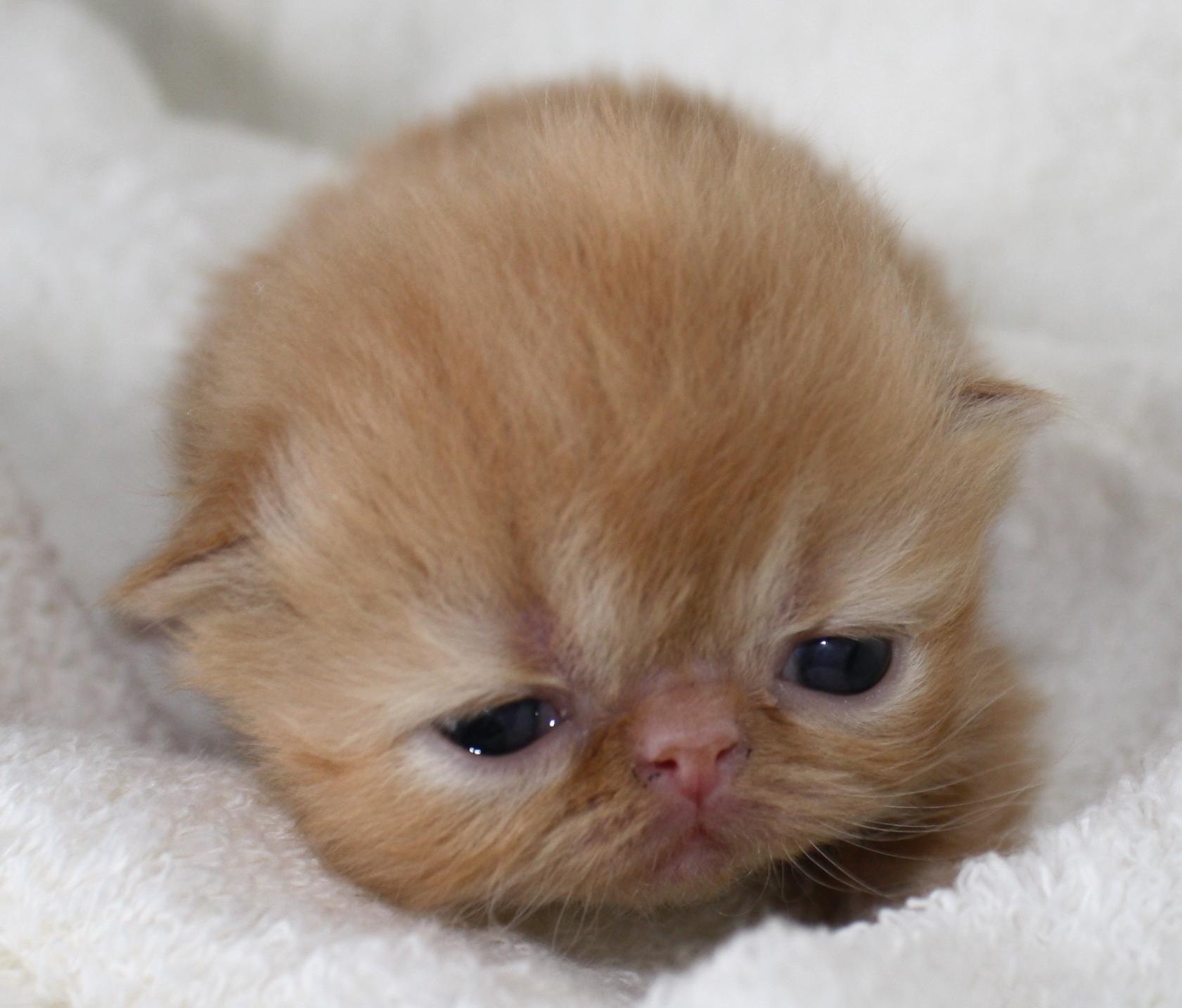 Brown Persian Kittens Red persian boy
