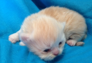 Buffalo Creek Farms Cream Persian Girl