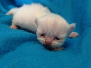 Buffalo Creek Farms Himalayan  Persian Girl