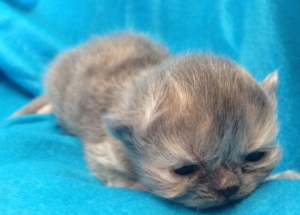 Buffalo Creek Farms Blue/Cream Torti Persian Girl