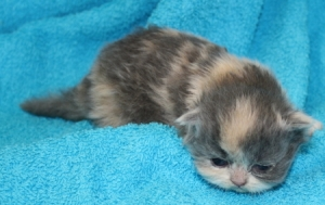 Buffalo Creek Farms Calico Girl