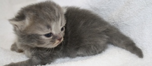 Buffalo Creek Farms Blue Golden Tabby Boy Persian