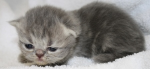 Buffalo Creek Farms Blue Golden Tabby Girl Persian