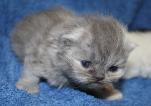 Buffalo Creek Farms Persian Dilute blue/cream torti girl