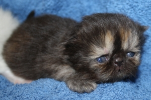 Buffalo Creek Farms Persian black/red torti girl
