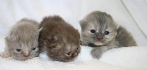 Buffalo Creek Farms Persian Kittens