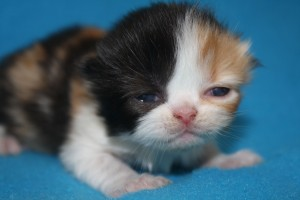 Buffalo Creek Farms Calico Persian