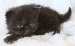 Buffalo Creek Farms black Persian kitten