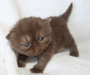 Buffalo Creek Farms chocolate Persian girl