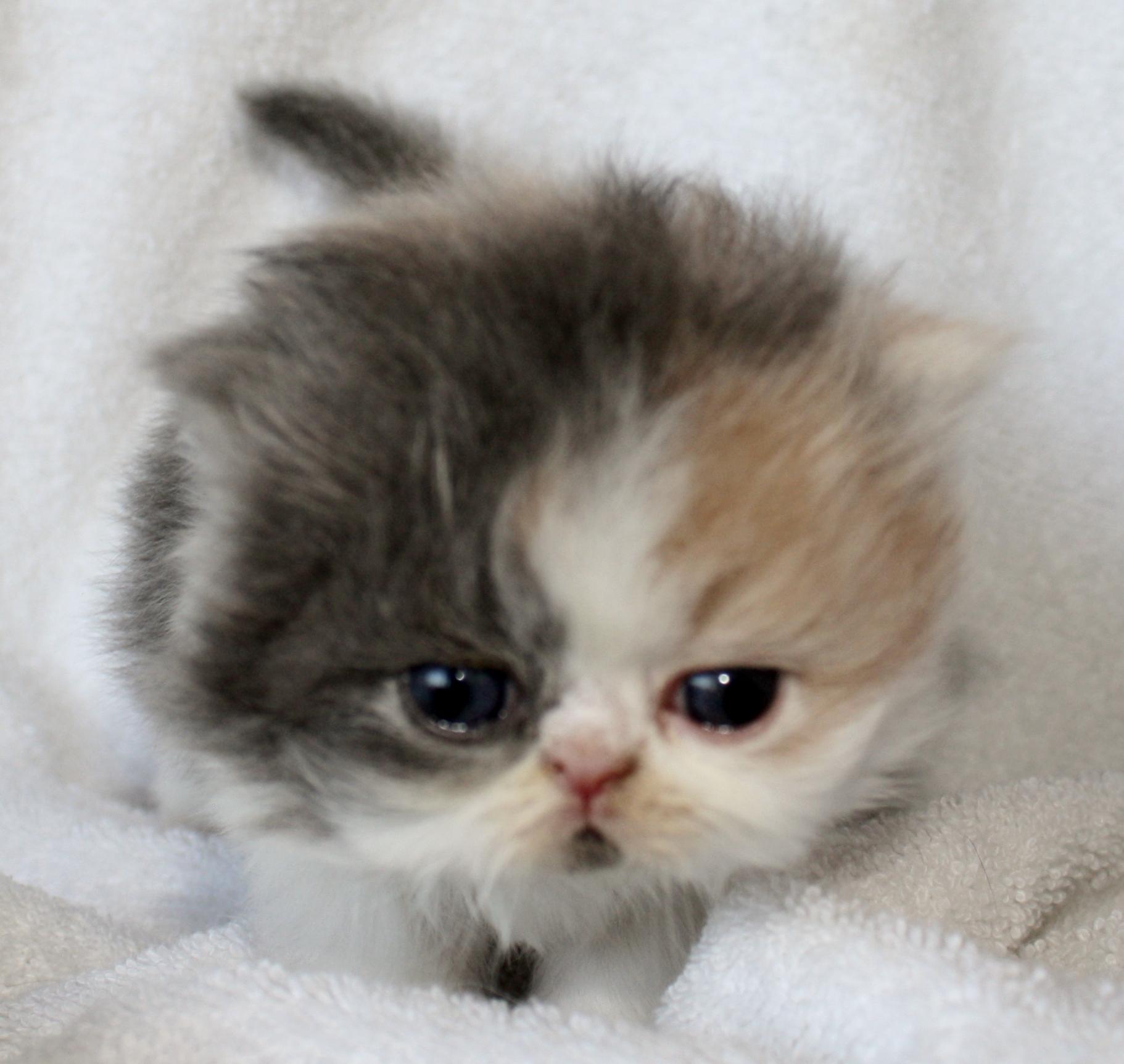 Calico kitten for sale
