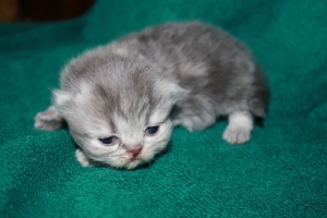 Buffalo Creek Farms Blue/Golden Persian Boy