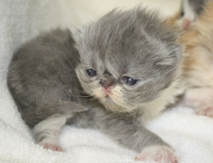 Buffalo Creek Farms blue bicolor Persian boy