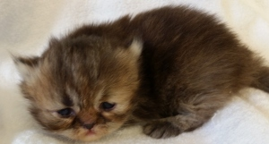 Buffalo Creek Farms Chocolate/Red calico Tabby Persian Girl DOB 6/27/15