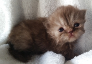 Buffalo Creek Farms Persian Kittens