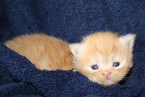 Buffalo Creek Farms Persian Kittens Red Boy 9/17/2015