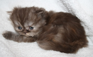Buffalo Creek Farms Chocolate Smoke Torti Persian