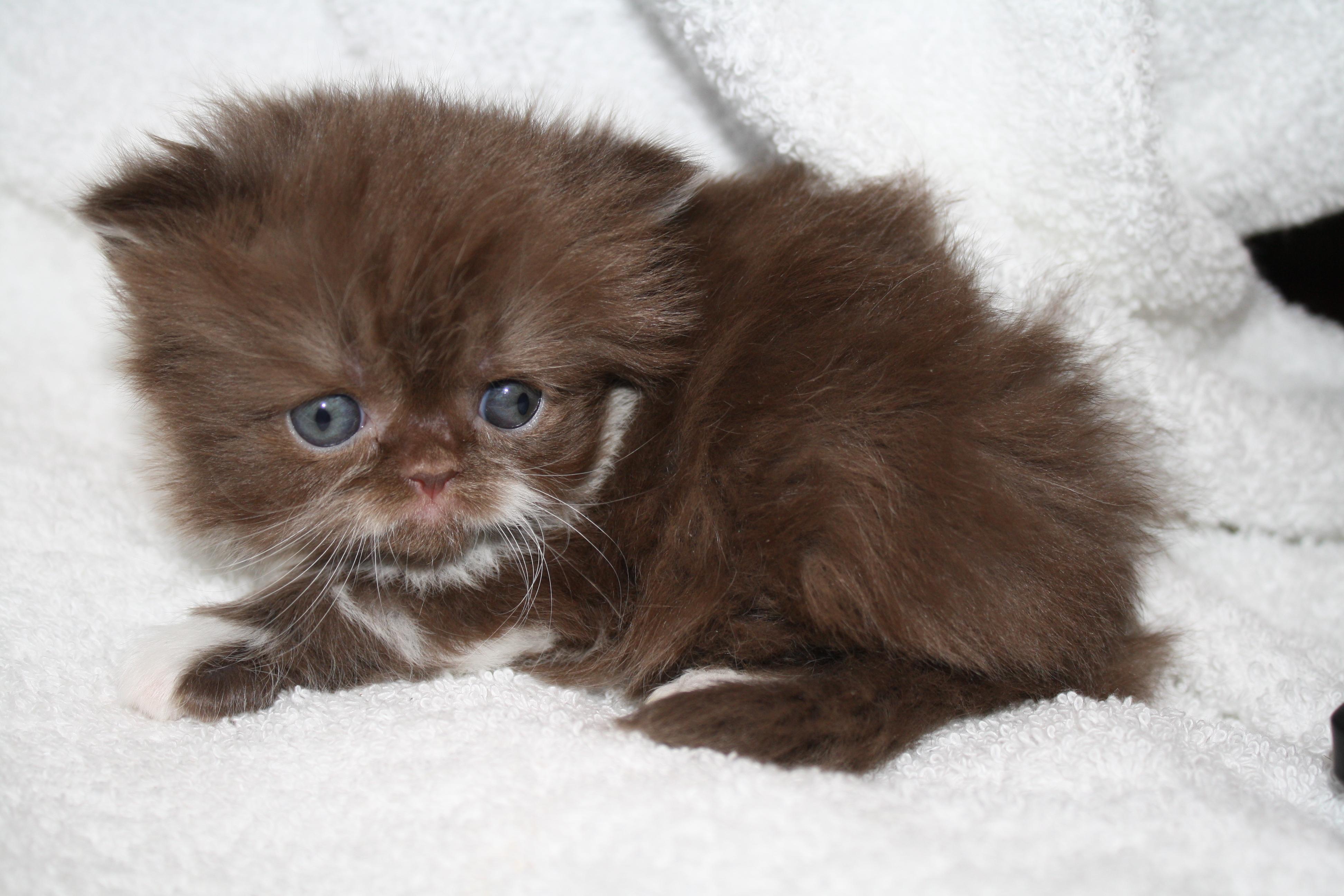 persian cat cats