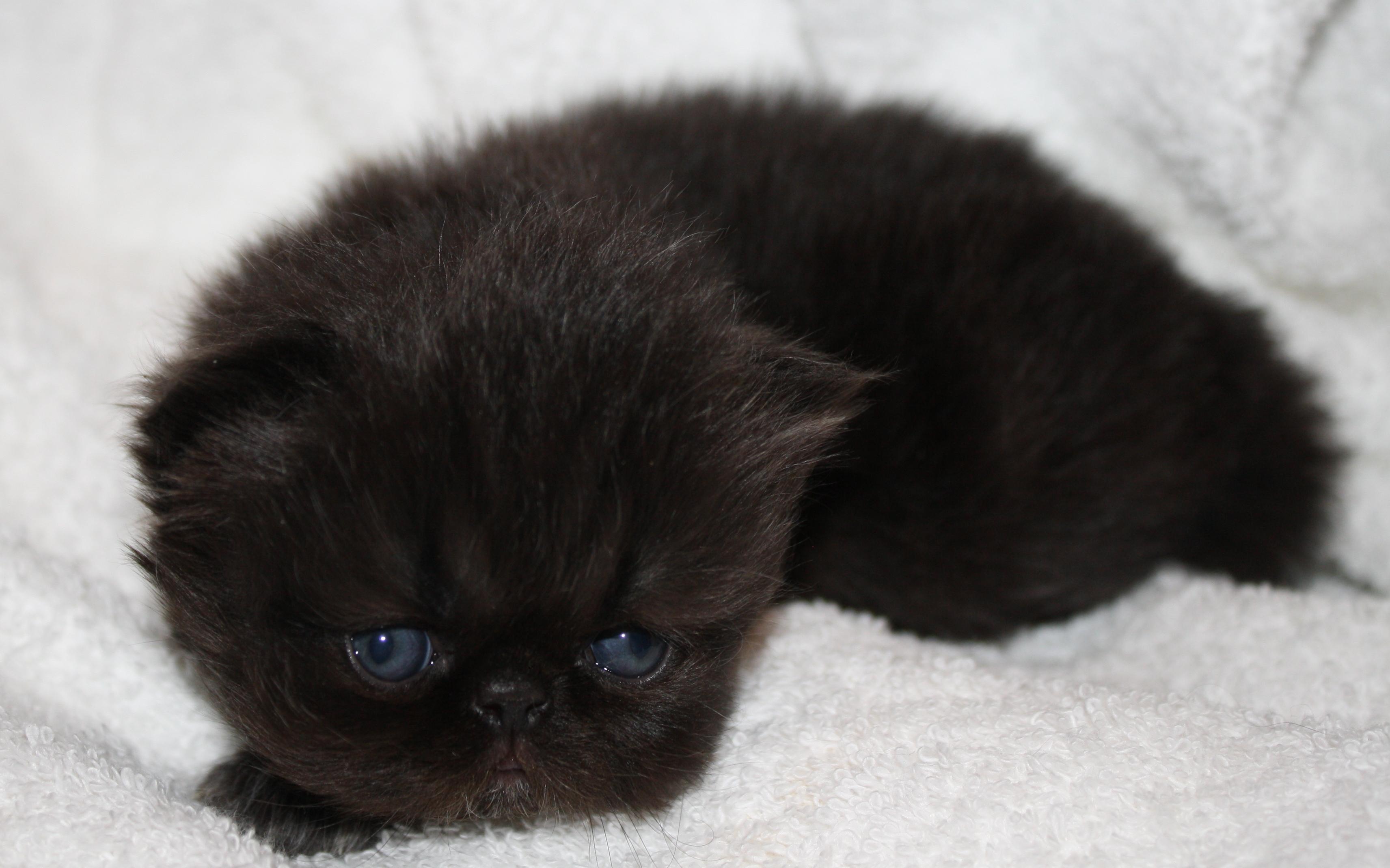 Persian Kittens For Sale In Kansas